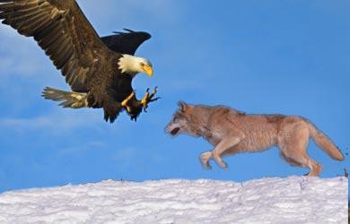 elang vs serigala